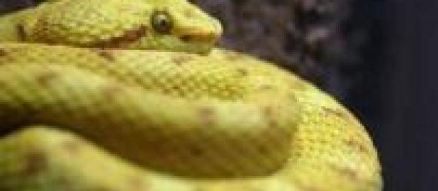 Spa oferece massagem relaxante de… cobra
