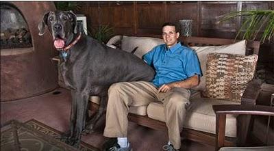 O maior cão do mundo