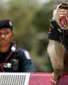 O macaco policia