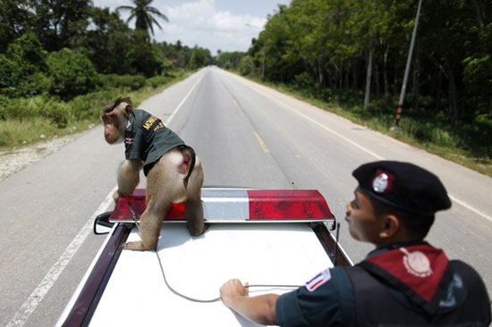 O macaco policia 3