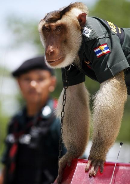 O macaco policia 6