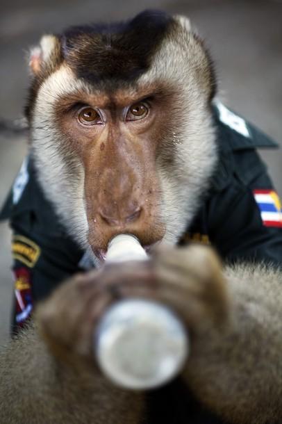 O macaco policia 8