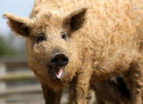 Porcos com lã 1