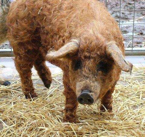 Porcos com lã 2