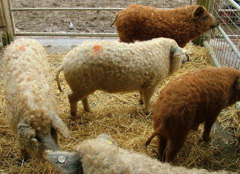 Porcos com lã 3