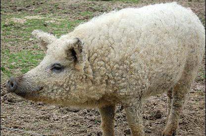 Porcos com lã