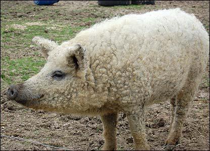 Porcos com lã 4