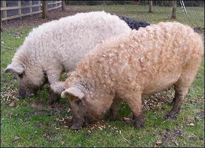 Porcos com lã 5