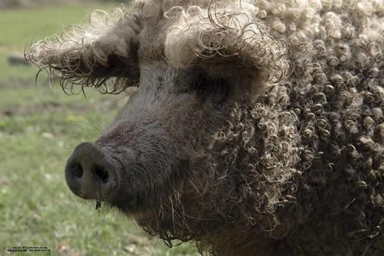 Porcos com lã 6