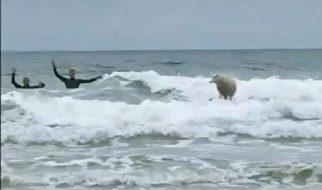 A ovelha surfista 2