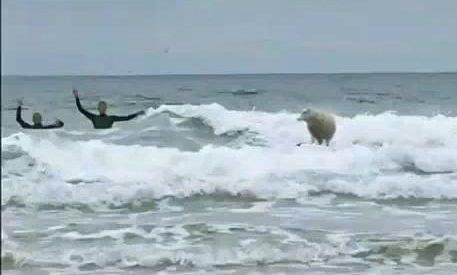 A ovelha surfista