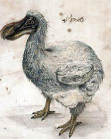 O último dodo vivo