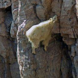 Cabras alpinistas 2