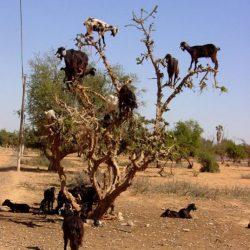 Cabras alpinistas 3