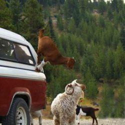 Cabras alpinistas 5