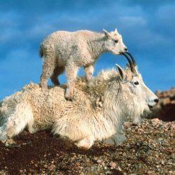 Cabras alpinistas 7
