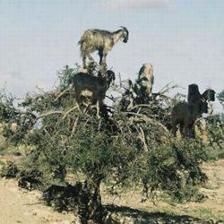 Cabras alpinistas 8
