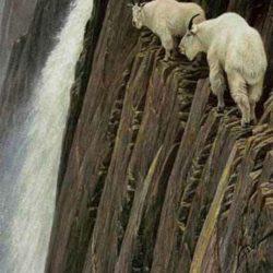 Cabras alpinistas 9