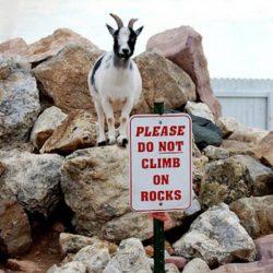 Cabras alpinistas 11