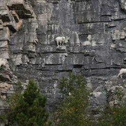 Cabras alpinistas 12
