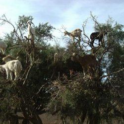 Cabras alpinistas 13