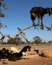 Cabras alpinistas