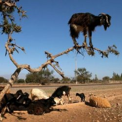 Cabras alpinistas 14