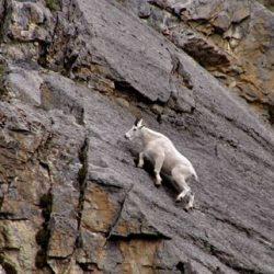 Cabras alpinistas 15
