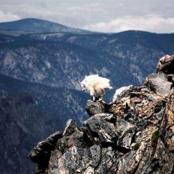 Cabras alpinistas 16