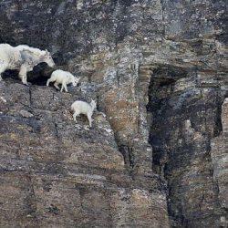 Cabras alpinistas 20