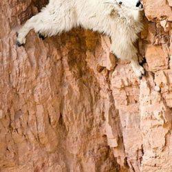 Cabras alpinistas 21