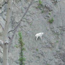Cabras alpinistas 22