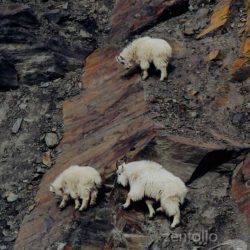 Cabras alpinistas 25