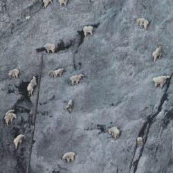 Cabras alpinistas 26