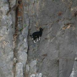 Cabras alpinistas 27