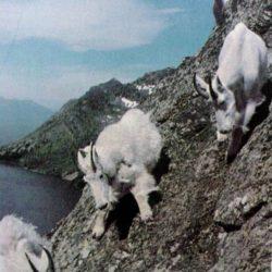 Cabras alpinistas 29