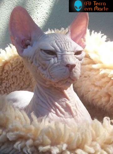 Os dez gatos mais feios de toda a internet 7