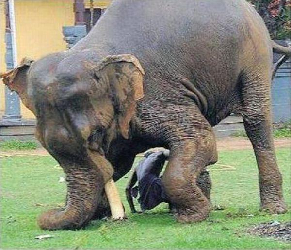 Não troque o seu cão por um elefante 6