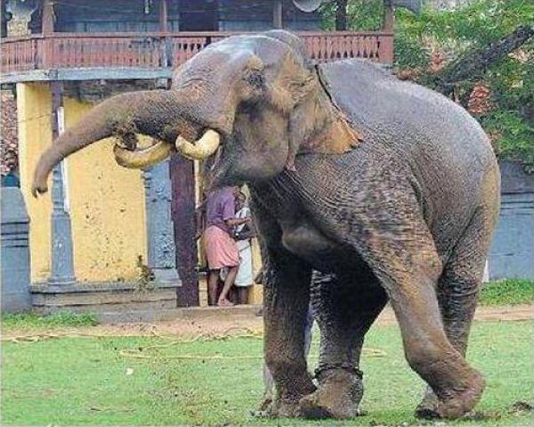 Não troque o seu cão por um elefante 8