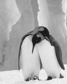 Escândalo no Zoo: Uma pinguim fêmea separou um casal gay