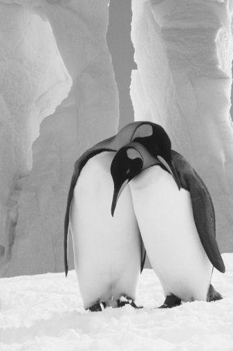 Escândalo no Zoo: Uma pinguim fêmea separou um casal gay 1