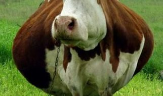 Animais gordos 1