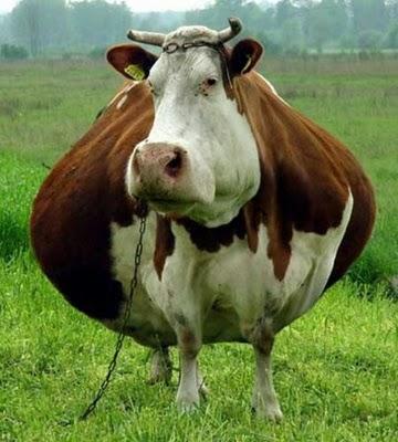 Animais gordos 11