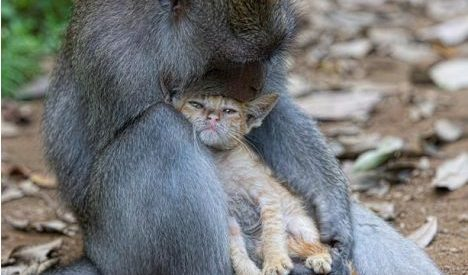 Macaco adopta gatinho na floresta da Indonésia