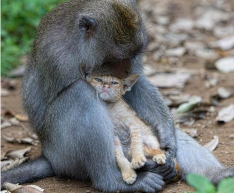 Macaco adopta gatinho na floresta da Indonésia 1