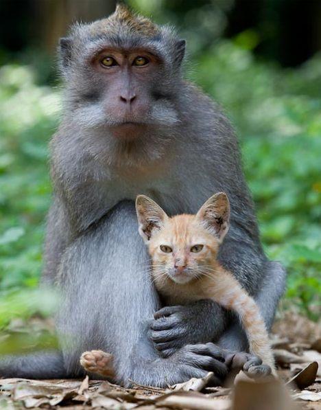 Macaco adopta gatinho na floresta da Indonésia 2