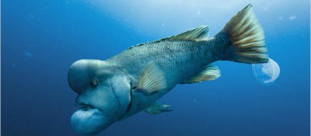 """Encontrado o peixe """"Shrek"""" no Mar do Japão"""