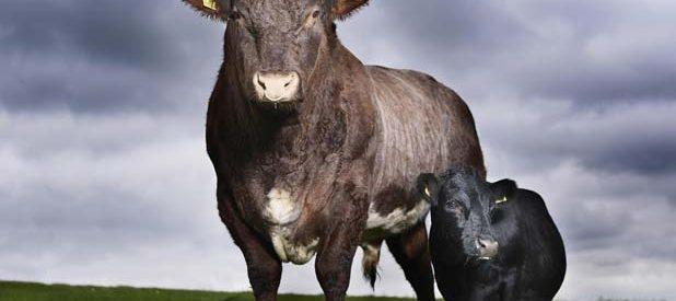 """Swallow"" a vaca mais pequena do mundo 1"