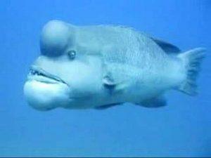 Fat-Face-Fish 3