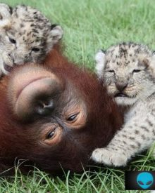 Orangotango adopta dois leões